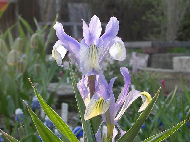 Lavendelblå junoiris