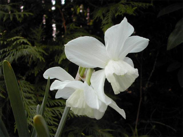 Orkidénarciss